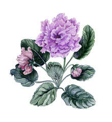 Beautiful pink and purple african violet flowers (Saintpaulia) with green leaves and closed buds isolated on white background. Watercolor painting.