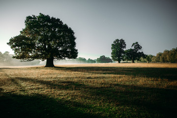 A giant oak tree standing in the misty morning casting shadows over the dewey pasture
