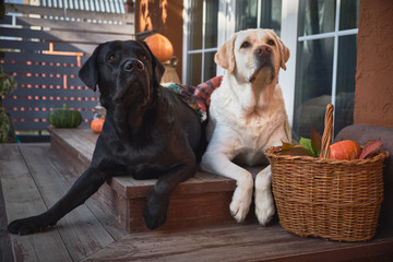 Two beautiful Labradors, black and white, lie side by side on the porch of a village house