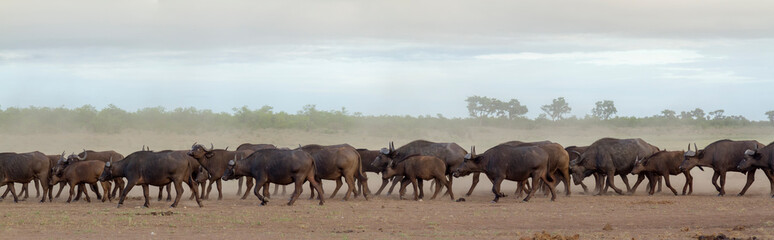 Foto auf Leinwand Buffel African buffalo in Kruger National park, South Africa