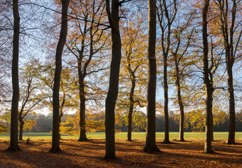 beech autumn leaves and sunlight in dutch november forest in holland