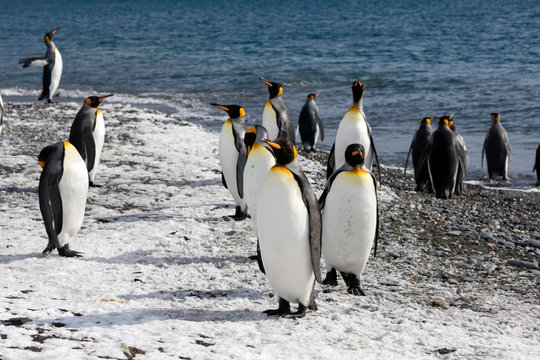 King penguins on the beach of Salisbury Plain on South Georgia in Antarctica