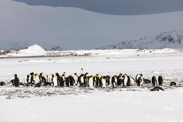 A colony of king penguins on Salisbury Plain on South Georgia in Antarctica
