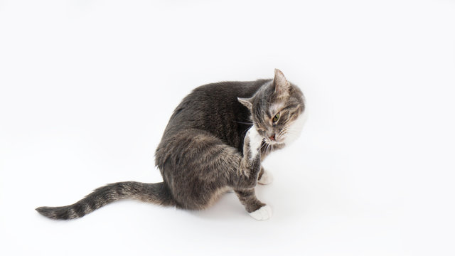 tabby cat scratching its head or grooming on white background