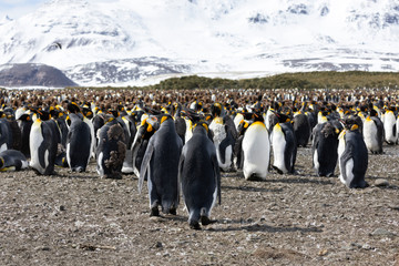 A colony of king penguins with their chicks in the center of the colony on Salisbury Plain on South Georgia in Antarctica