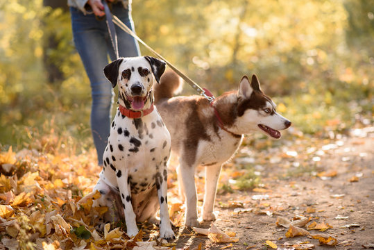 Happy young woman walking in the autumn forest with two dogs. Two Companion Dogs out for a Walk. Dalmatian and siberian husky out for a walk