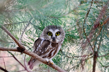 Northern Saw-whet Owl in the wild, Ontario, Canada.