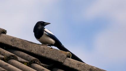 Die Elster auf dem Hausdach