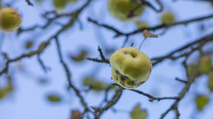 Äpfel am Winterbaum