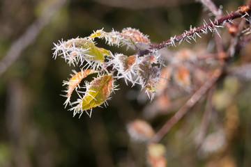 Raureifnadeln im Herbst