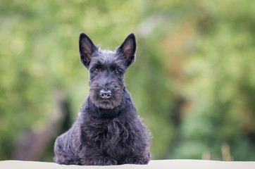 Black scottish terrier puppy posing outside at summer. Young and cute terrier baby. Wall mural