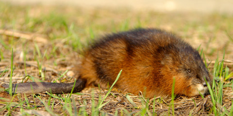 Single Muskrat rodent on a grassy Biebrza river wetlans during the early spring mating period