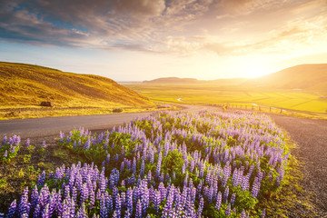 Wall Mural - Magical blooming lupine valley glowing by sunlight. Location place south Iceland, Europe.