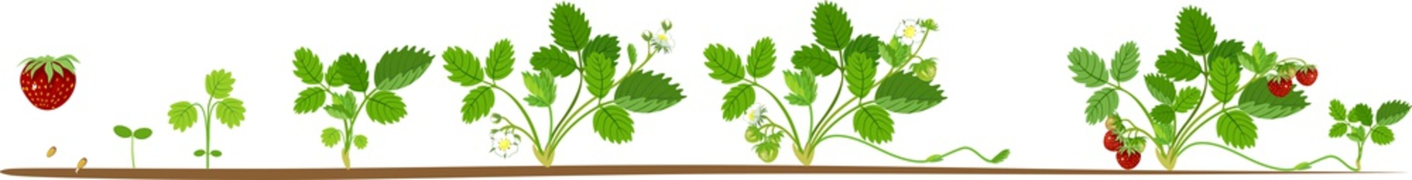 Life cycle of strawberry. Plant growth stage from seed to strawberry plant with berries