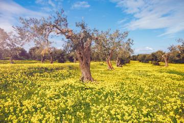 Impressive views of the olive garden. Sicily island, Italy.