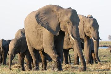 Elefant am Chobe River