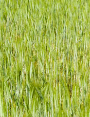 Close up of wheat plant as nature background.