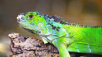green iguana on a branch // one green iguana lizard .reptile sit