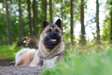 American akita dog portrait
