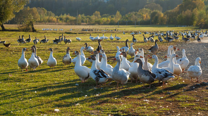 Geese grazing in a meadow