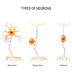 sensory neuron, motor neuron, and interneuron