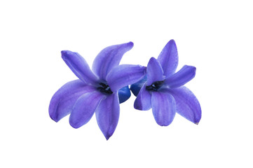hyacinth flower isolated