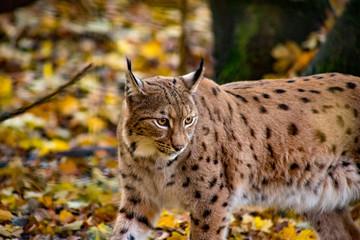 Foto auf AluDibond Luchs Lynx boréal