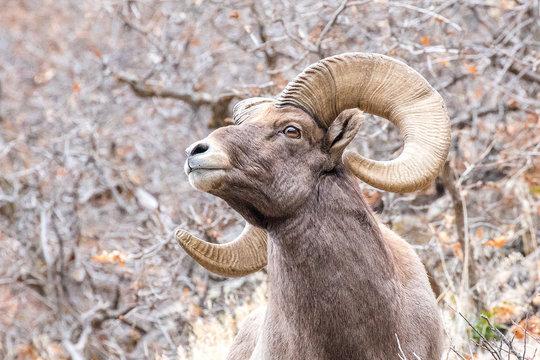 Bighorn Sheep Ram Close Up