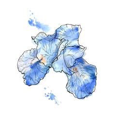 Iris flower isolated on white background.