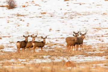 Winter Deer Herd