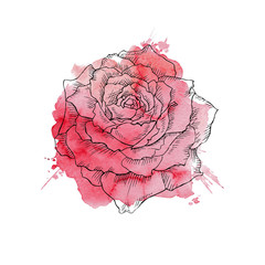 red rose hand drawn