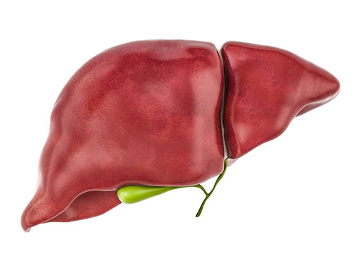 Healthy human liver with gallbladder, 3D rendering
