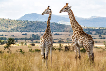 Giraffes in Pilanesberg National Park in South Africa Wall mural