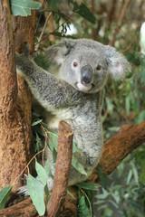 Garden Poster Koala Koala in Australien