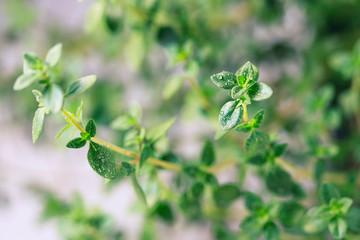 Thyme. Fresh green leaves of organic thyme closeup. Healthy eating.