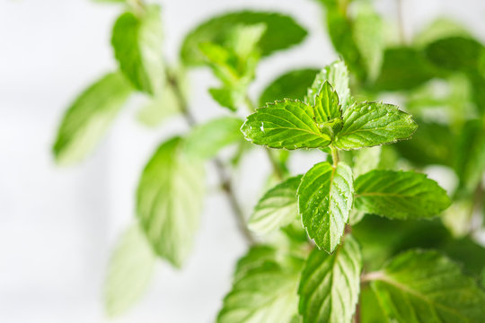 Mint. Fresh green leaves of organic mint closeup. Healthy eating.