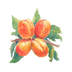 Four apricots on a branch with leaves watercolor on an isolated background