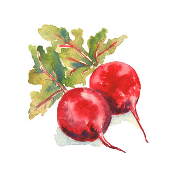 Red beetroot watercolor illustration on a white background