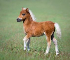 Miniature foal on green field.