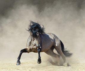Fototapete - Golden dun Purebred Andalusian horse playing on sand.