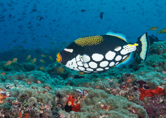 Clown Triggerfish on healthy reef