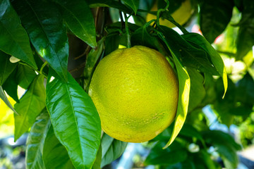 Big ripening orange citrus fruit on orange tree in orchard