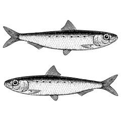 Illustration of Sardine (Pilchard)