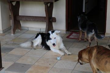 Border Collie e Australian Cattle Dog