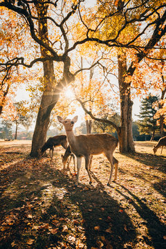 Sika deer grazing in autumn forest, Nara, Japan