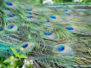 Close up shot of a beautiful peacock fan