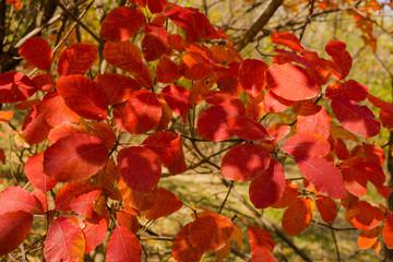 Rhus cotinus, the European smoketree. Cotinus coggygria. Smoke bush, Venice sumach. Autumn landscape with red trees.