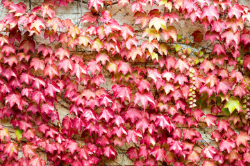 Nice autumn colors of a ivy wall. The red and yellow leaves create a natural pattern