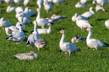Flock of Snow Geese feeding and resting in a green field, Skagit Valley, Washington, USA