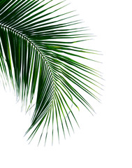 tropical coconut palm leaf isolated on white background